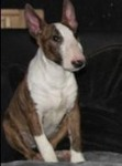 bullterrier Avatar