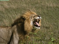 roar king lion 2.jpg