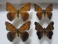 late summer butterflies 005.JPG