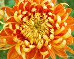 Chrysanthemum Avatar