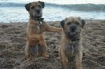 BorderTerrier Avatar