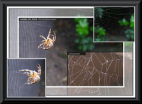 Fukushima_spiders web_comparison.jpg