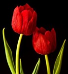 2redtulips Avatar