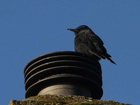 Blue Rock Thrush 3761.jpg