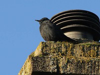 Blue Rock Thrush 3745.jpg
