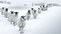 2013-12-15_EN-GB10467576611_Winter-Sheep-in....jpg