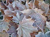 Frosted-Leaves1.jpg