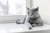 British-shorthair-cat-breed.jpg