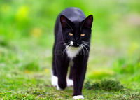 Feral-black-white-cat-walks-towards-camera-....jpg