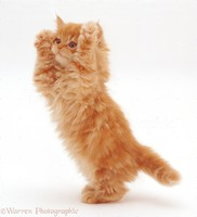 22198-Ginger-kitten-reaching-up-white-backg....jpg