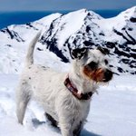 Alpine Terrier Avatar