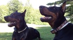 dobermoms Avatar