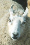 ntsheep Avatar