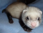 nanjferret Avatar
