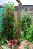 Greenhouse tomato - Copy.jpg