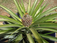 pineapple - Copy.jpg