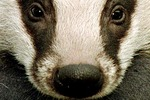 badger Avatar