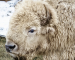 White Buffalo Avatar