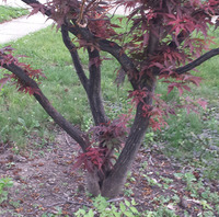 Nickinapot_japanese-maple 2.jpg
