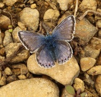 common blue.jpg