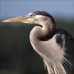 Mr Heron Avatar