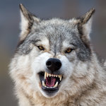 wolfofwinter Avatar