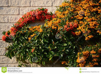 red-orange-berries-firethorn-bush-make-colo....jpg