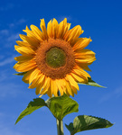 sunflower Avatar